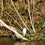 Heron beside Lydney park lake.