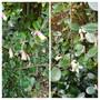 Correa varieties..... (Australian fuchsia Correa.)