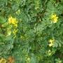 Coronilla glauca citrina... (Coronilla valentina (Coronille))