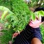 Agarwood Plants (Agarwood Plant)