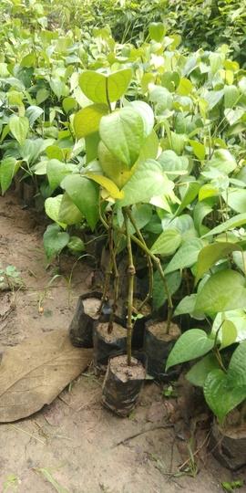 Black Pepper Plant (Piper nigrum (Pepper))