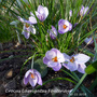 crocus name on picture