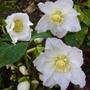 Helleborous niger (Christmas Rose)