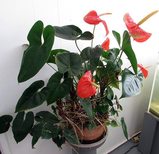 Anthurium in the house. (Anthurium)