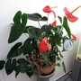 Anthurium in the house. (Anthurium)