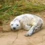 Grey_seal_pup_.