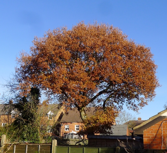 Neighbour's oak tree ready to shed its leaves (Quercus robur)