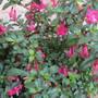 Fuchsia x bacillaris