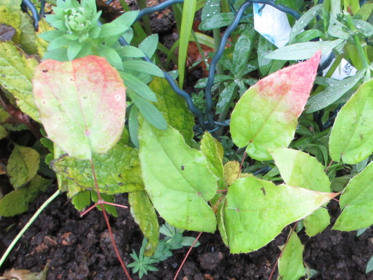 Leaves of Epimedium Pink Champagne.(For my File) (Epimedium Pink Champagne)