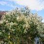 Eastern False Willow (Baccharis Halimifolia)