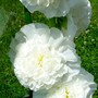 double hollyhock