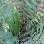 Hose in Hose? (Asplenium scolopendrium (Hart's tongue fern))