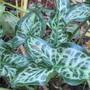 Arum italicum pictum (Arum italicum pictum)