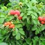 Hedgerow rose hips