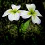 Small White Petals