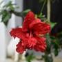 Hibiscus El Capitolio 'Bloody Mary'