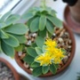 Succulent flowers....