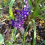 Another happy Salvia..