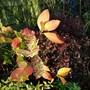Sunshine on Hydrangea... (Hydrangea mophead.)