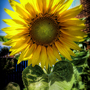 Same Sunflower Photoshopped
