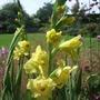 Yellow_gladioli