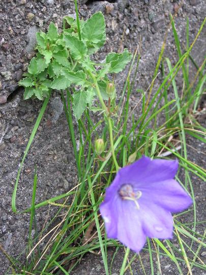 bell flower (carpathian bellflower campanula carpatica)