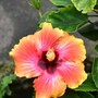 Hibiscus_cosmic_dancer_2_