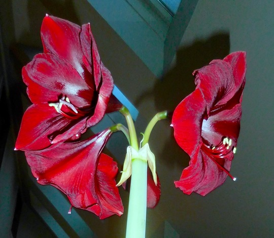 Amaryllis-Red Velvet