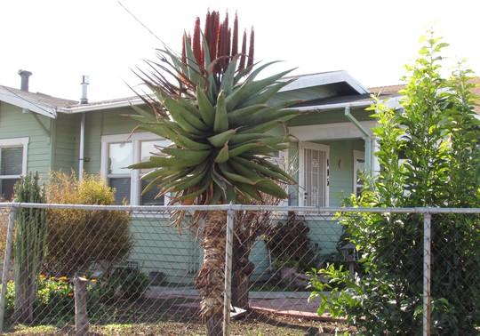 Aloe ferox in full New Years show. (Aloe ferox.)