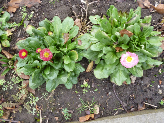 bellis daisies (Bellis perennis (Common Daisy))