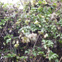 Clematis cirrhosa var balearica (Clematis cirrhosa var balearica)