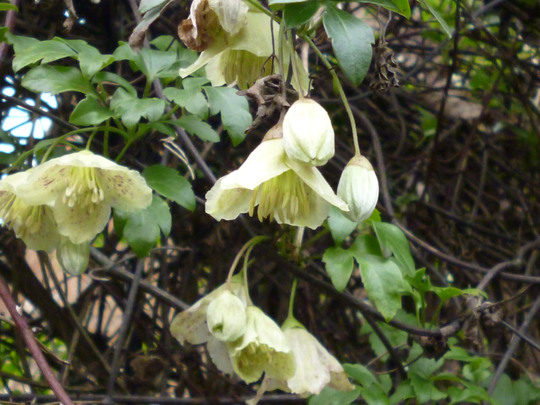 Clematis cirrhosa var Balearic (Clematis cirrhosa var balearica)