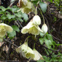 Clematis_chirrosa