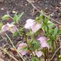 Pale pink hellebore (Helleborous)
