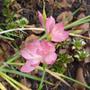 Hesperanthus 'Jennifer' (Hesperanthus coccinea. 'Jennifer')