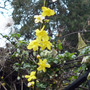 winter flowering jasmine (Jasminum nudiflorum)