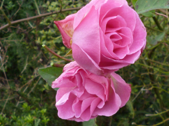 Rose Zephrine Drouhin (Rose Zephrine Drouhin)
