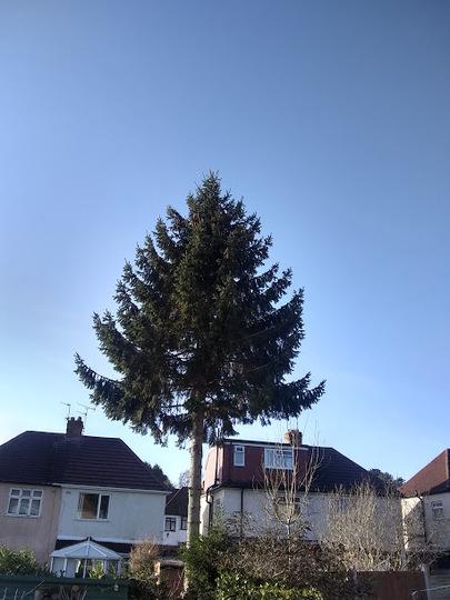 Norway spruce in garden