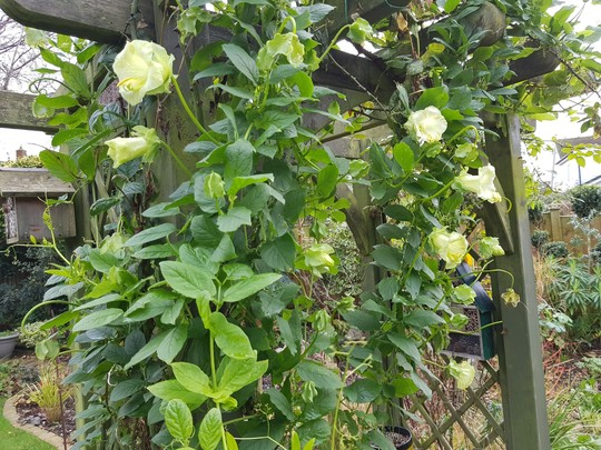 Cobaea (Cobaea scandens (Cup and saucer plant))
