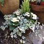 Primroses, ivy and a small conifer.