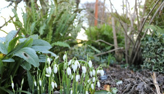 Early snowdrops (Galanthus nivalis (Common snowdrop))