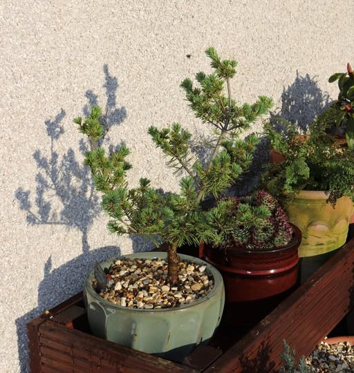 Japanese White Pine (Pinus Parviflora) 'Hobbit' (Pinus parviflora (Japanese White Pine))
