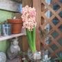 Flowering Hyacinth bulb.