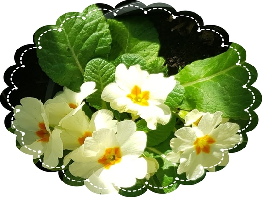 Primula Vulgaris....... (Primula vulgaris (Native primrose))