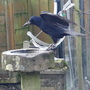 This crow and her partner visit my little garden and she's been having a drink out of the bird bath.