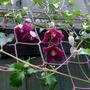 Clematis cirrhosa 'Lansdowne Gem' - 2019 (Clematis cirrhosa)
