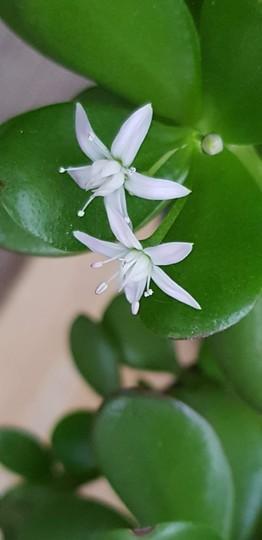 Crassula ovata....Jade plant.. (Crassula ovata (Jade tree))