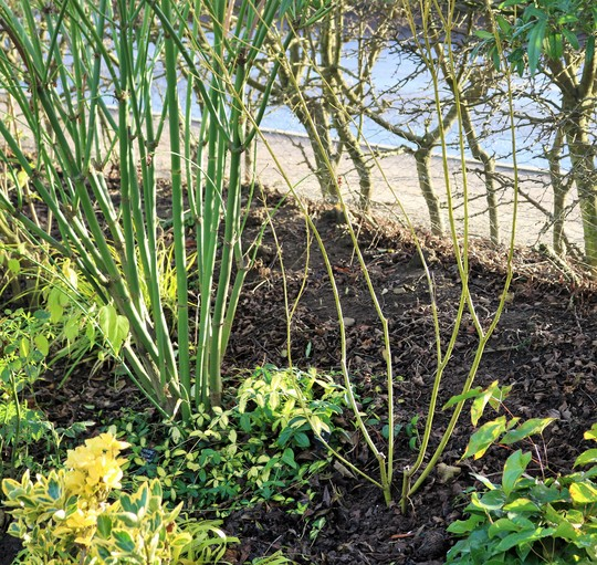 Cornus 'Flaviramea' on the right here, just added to Golden Border