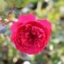 Sir John Betjeman Rose ....incredible.