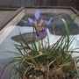 Iris_cretensis_2
